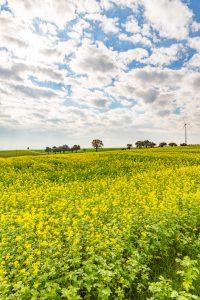Blühende Felder in Ingersheim