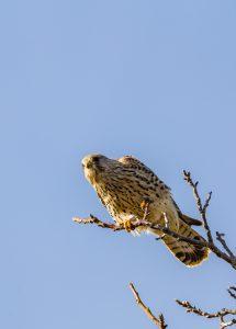 Ein Turmfalken-Weibchen in Ingersheim